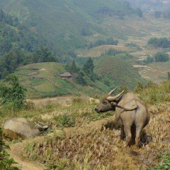 Buffalo in mekong rice fields