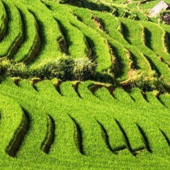 The green fertile fields of Sapa