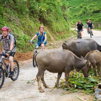Biking in Sapa alongside buffalos