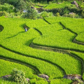 Green and fertile rice fields of Sapa